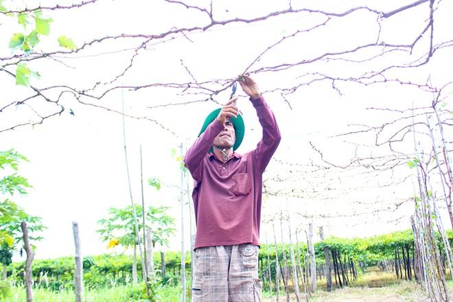 Vườn nho đón khách miễn phí của lão nông Ninh Thuận